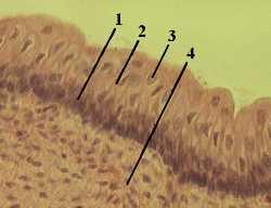 http://nsau.edu.ru/images/vetfac/images/ebooks/histology/histology/r4/bs9.jpg