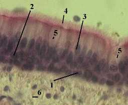 http://nsau.edu.ru/images/vetfac/images/ebooks/histology/histology/r4/bs6.jpg