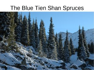 The Blue Tien Shan Spruces