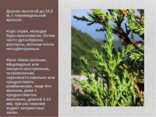 Дерево высотой до 16,5 м, с пирамидальной кроною. Кора серая, молодая буро-кр