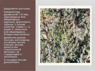 Двудомное растение. Шишкоягоды диаметром 7-13 мм, шаровидные или яйцевидные,