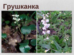 Грушканка