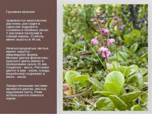 Грушанка красная травянистое многолетнее растение, растущее в зарослях кедров