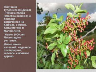 Фисташка туполистная (дикая) - Pistacia mutica (atlantica cabulica) В природе