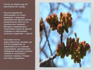 Росло на Земле еще 62 миллиона лет назад. Высота деревьев небольшая, но ствол