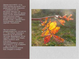 Дерево высотой 8—12 м, ствол иногда достигает 1 м в диаметре; растёт медленно