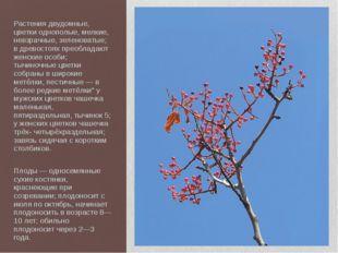 Растения двудомные, цветки однополые, мелкие, невзрачные, зеленоватые; в древ