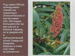 Род сумах (Rhus) принадлежит семейству сумаховых (Anacardiaceae) и насчитывае