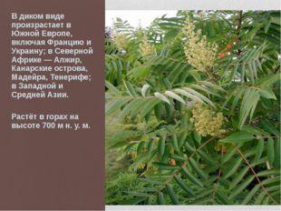 В диком виде произрастает в Южной Европе, включая Францию и Украину; в Северн