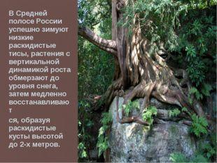 В Средней полосе России успешно зимуют низкие раскидистые тисы, растения с ве
