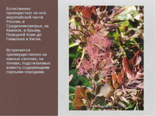 Естественно произрастает на юге европейской части России, в Средиземноморье,