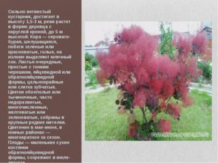 Сильно ветвистый кустарник, достигает в высоту 1,5-3 м, реже растет в форме д