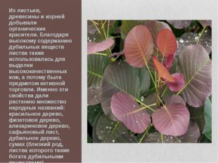 Из листьев, древесины и корней добывали органические красители. Благодаря выс