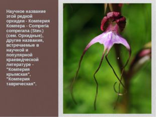 Научное название этой редкой орхидеи - Комперия Компера - Comperia comperana