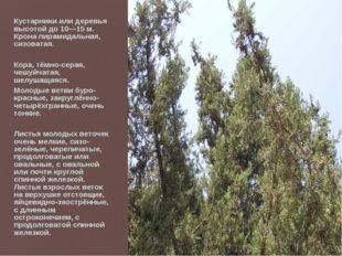 Кустарники или деревья высотой до 10—15 м. Крона пирамидальная, сизоватая. Ко