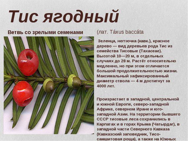 Тис ягодный Зеленца, негтючка (кавк.), красное дерево — вид деревьев рода Тис...
