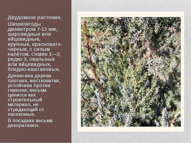 Двудомное растение. Шишкоягоды диаметром 7-13 мм, шаровидные или яйцевидные,...