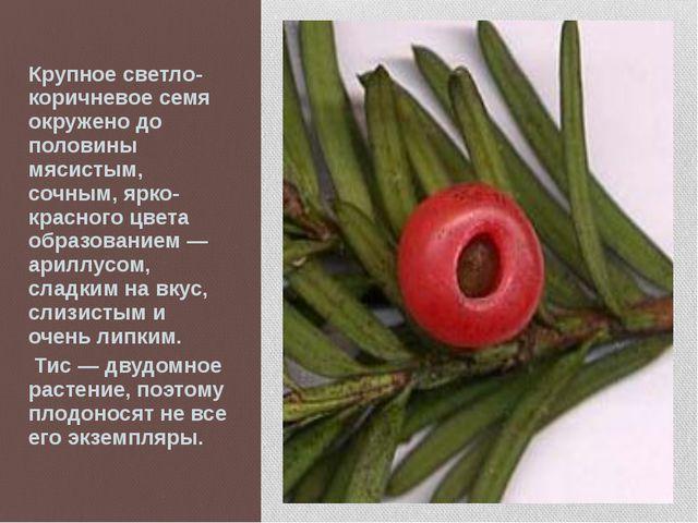 Крупное светло-коричневое семя окружено до половины мясистым, сочным, ярко-кр...
