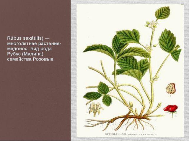 Костяни́ка, Костяника камени́стая (лат. Rúbus saxátilis) — многолетнее расте...