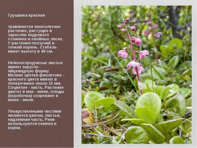Грушанка красная травянистое многолетнее растение, растущее в зарослях кедров...