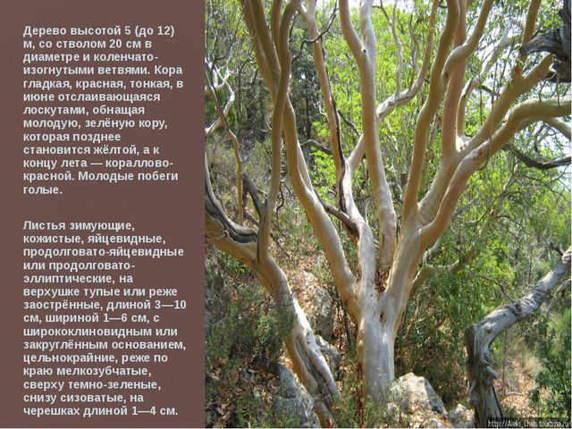 Дерево высотой 5 (до 12) м, со стволом 20 см в диаметре и коленчато-изогнутым...