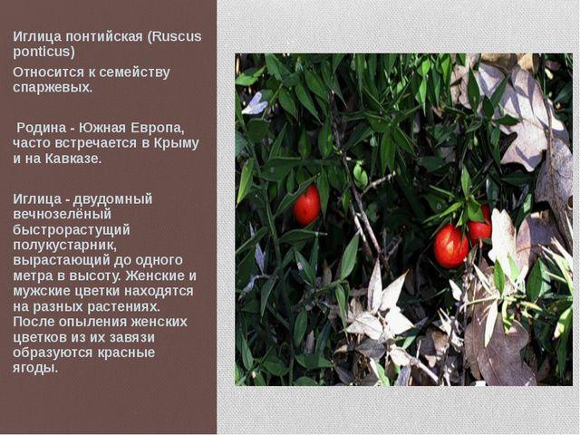 Иглица понтийская (Ruscus ponticus) Относится к семейству спаржевых. Родина -...