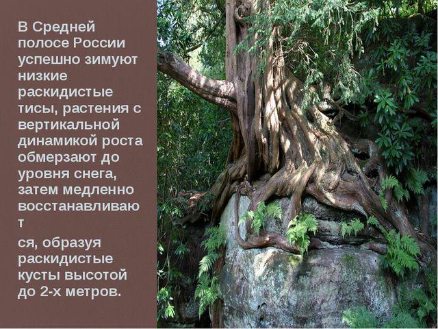 В Средней полосе России успешно зимуют низкие раскидистые тисы, растения с ве...