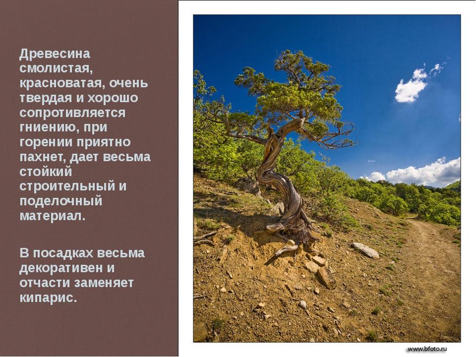 Древесина смолистая, красноватая, очень твердая и хорошо сопротивляется гниен...