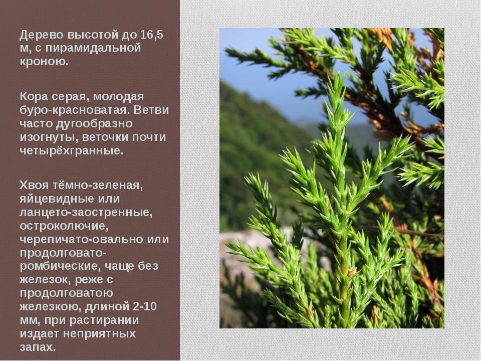 Дерево высотой до 16,5 м, с пирамидальной кроною. Кора серая, молодая буро-кр...