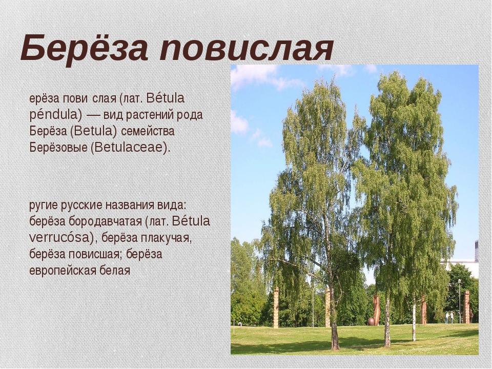 Берёза повислая Берёза пови́слая (лат. Bétula péndula) — вид растений рода Бе...