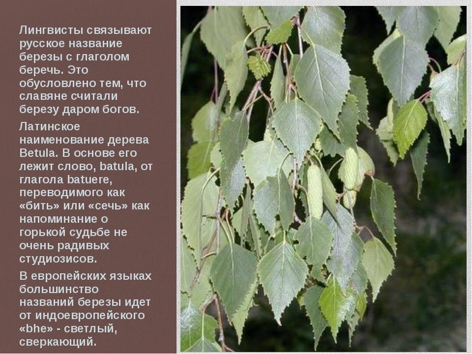 Лингвисты связывают русское название березы с глаголом беречь. Это обусловлен...