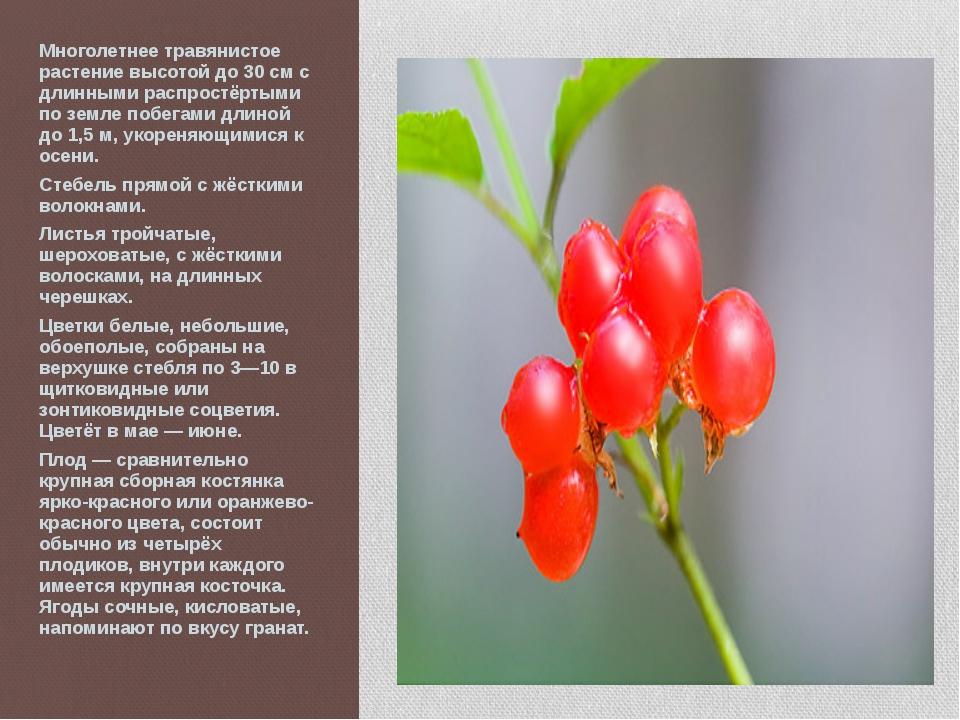 Многолетнее травянистое растение высотой до 30 см с длинными распростёртыми п...