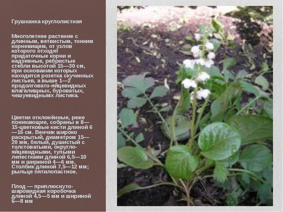 Грушканка круглолистная Многолетнее растение с длинным, ветвистым, тонким кор...