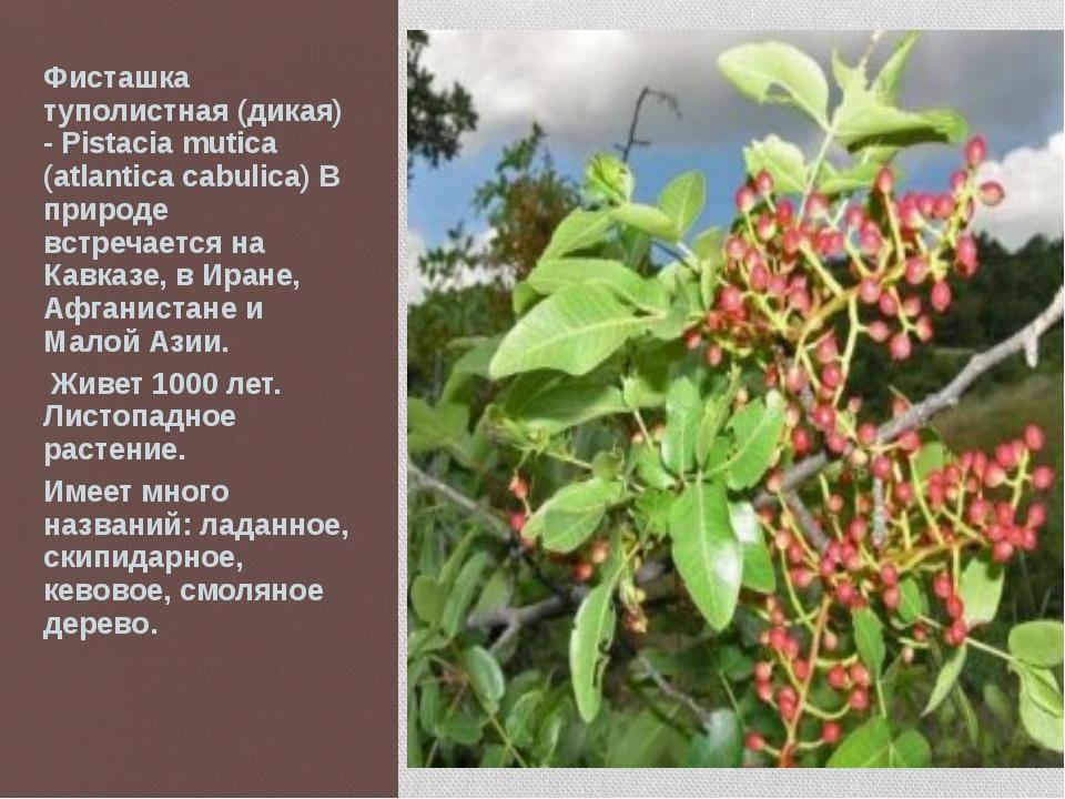 Фисташка туполистная (дикая) - Pistacia mutica (atlantica cabulica) В природе...