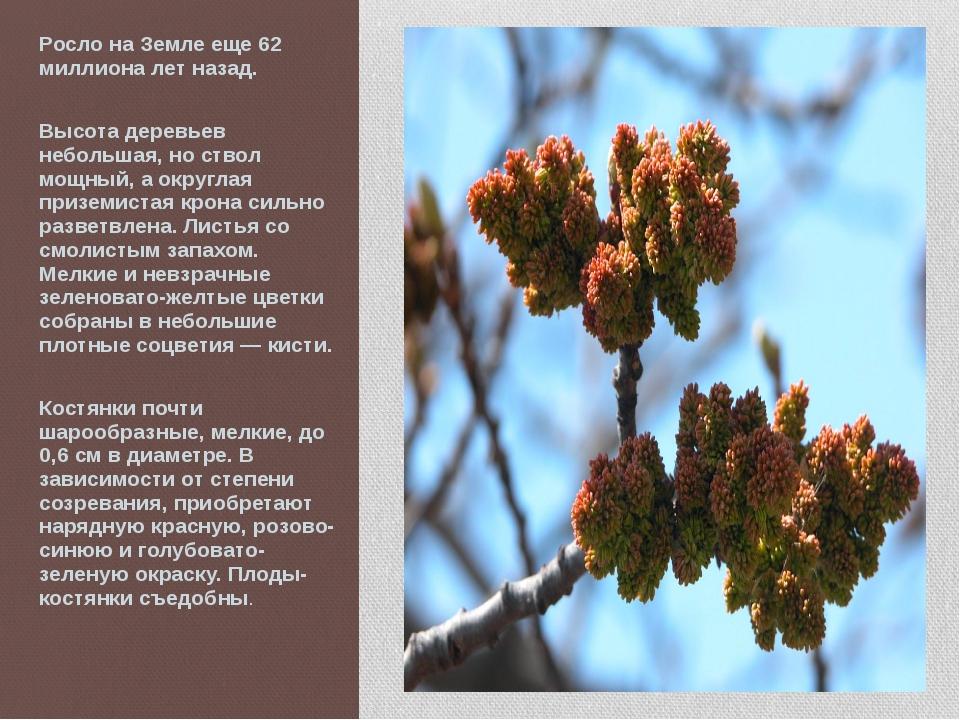 Росло на Земле еще 62 миллиона лет назад. Высота деревьев небольшая, но ствол...