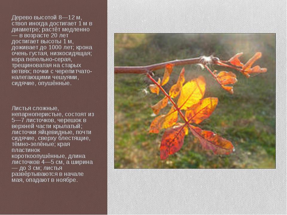 Дерево высотой 8—12 м, ствол иногда достигает 1 м в диаметре; растёт медленно...