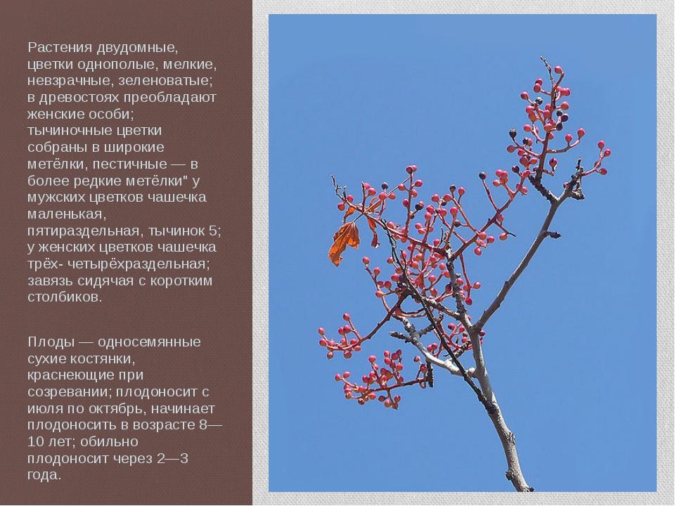 Растения двудомные, цветки однополые, мелкие, невзрачные, зеленоватые; в древ...