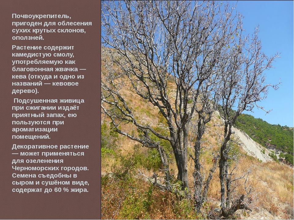 Почвоукрепитель, пригоден для облесения сухих крутых склонов, оползней. Расте...