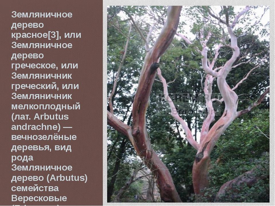 Земляничное дерево красное[3], или Земляничное дерево греческое, или Землянич...