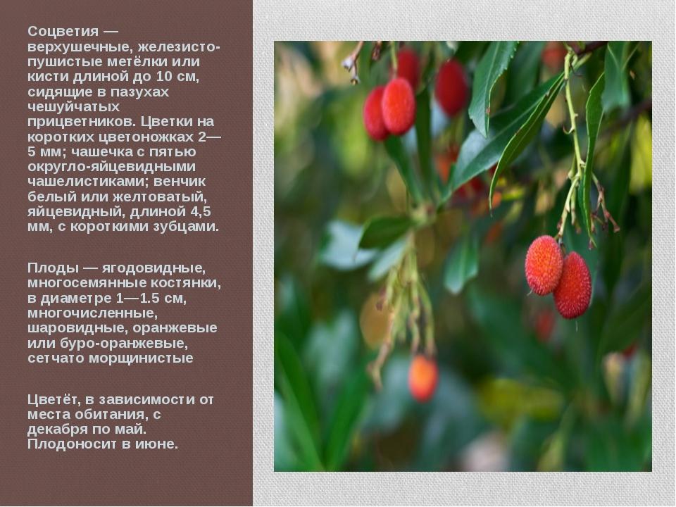 Соцветия — верхушечные, железисто-пушистые метёлки или кисти длиной до 10 см,...