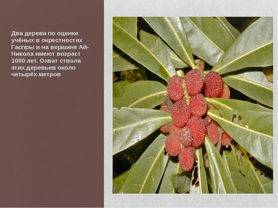 Два дерева по оценке учёных в окрестностях Гаспры и на вершине Ай-Никола име...
