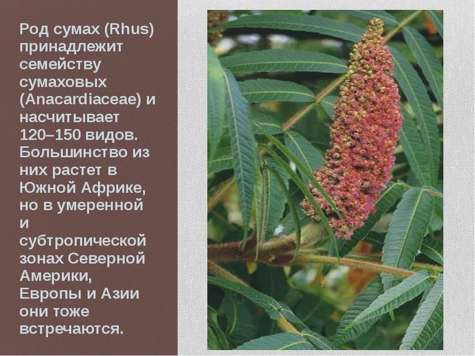 Род сумах (Rhus) принадлежит семейству сумаховых (Anacardiaceae) и насчитывае...