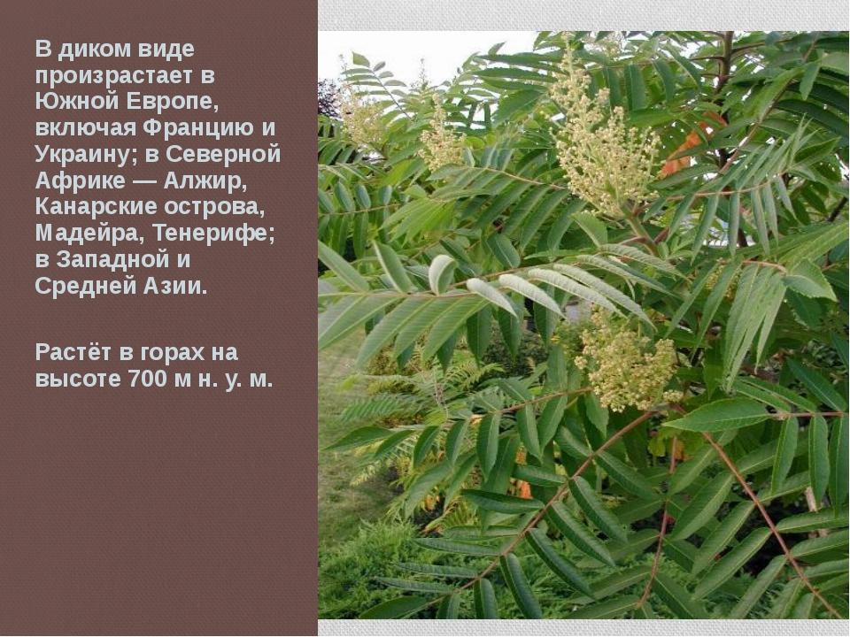 В диком виде произрастает в Южной Европе, включая Францию и Украину; в Северн...