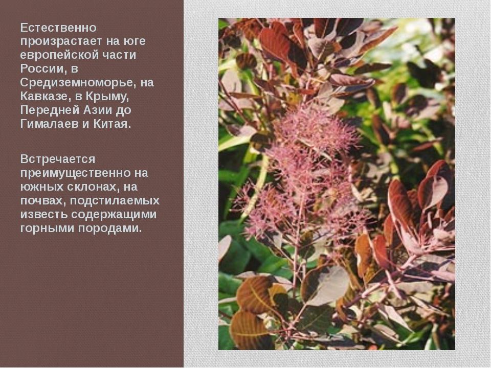 Естественно произрастает на юге европейской части России, в Средиземноморье,...