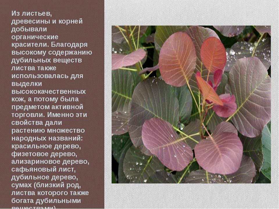 Из листьев, древесины и корней добывали органические красители. Благодаря выс...