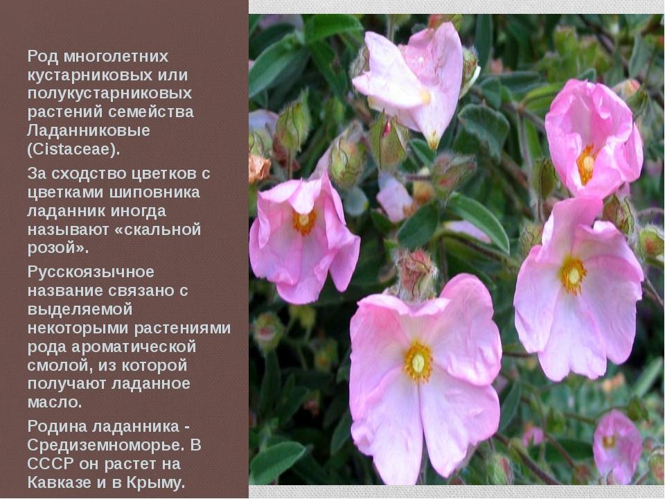 Род многолетних кустарниковых или полукустарниковых растений семейства Ладан...