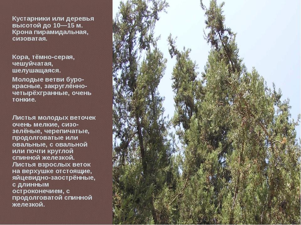 Кустарники или деревья высотой до 10—15 м. Крона пирамидальная, сизоватая. Ко...