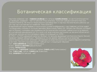 Ботаническая классификация Научное название чая – Камелия китайская (по латын