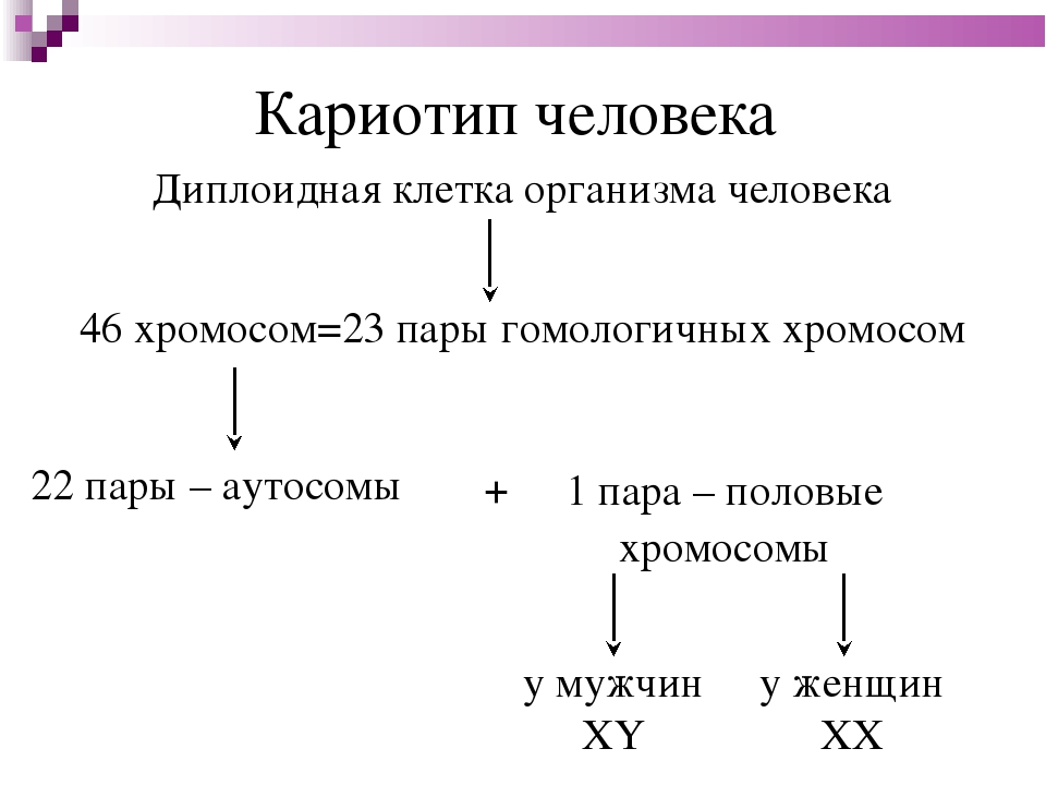 Кариотип человека Диплоидная клетка организма человека 46 хромосом=23 пары го...