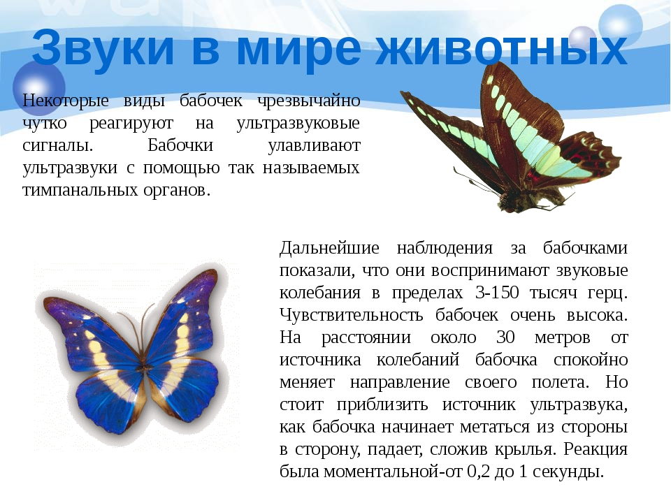 Некоторые виды бабочек чрезвычайно чутко реагируют на ультразвуковые сигналы....